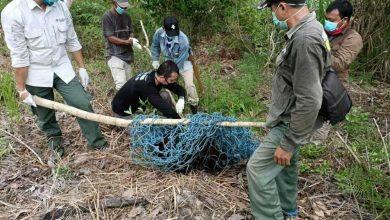 Photo of Cari Makan di Kebun Warga, Habitat Orangutan Makin Terdesak di Bontang Lestari