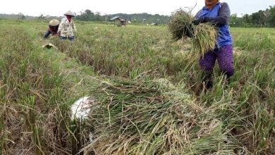 Photo of Menggapai Asa Swasembada Pangan di Kukar Jelang Kepindahan IKN